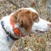 Get Listed in our Nationwide Hunting Dog Directory