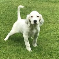 English Setter Pups NY