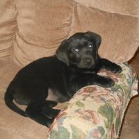 AKC Registered Labrador Retreiver Puppies for Sale
