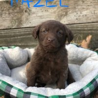 Chesapeake Bay Retriever AKC puppies for sale