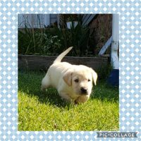 AKC Registered Labrador Retriever Puppies - Black and Yellow