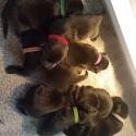 Black Lab Puppies Ready to go Home Dec 20