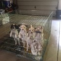 ENGLISH SETTERS PUPS FOR SALE - AMERICAN FIELD REG