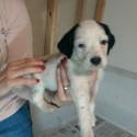 FDSB English Setter Pups For Sale