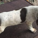 AKC REGISTERED GERMAN SHORTHAIRED POINTER PUPS