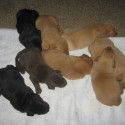 Lab Pups for Sale!