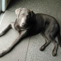15 month Silver Lab (male)