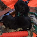 MIX BREED BIRD DOG PUPPIES