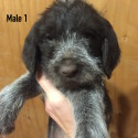 German Wire-haired Pointer Puppies