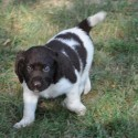 Small Munsterlander Puppies for Sale