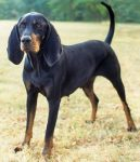 training coonhounds