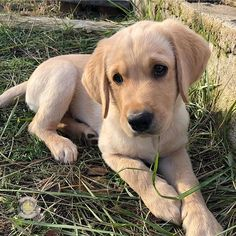Buying a Lab Pup