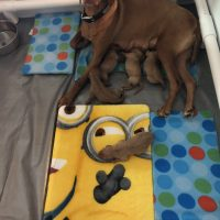 Vizsla Puppies Born May 20, 2019