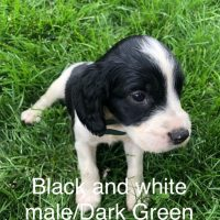 Field Trial English Springer Spaniel Puppies