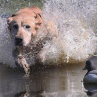 (TX) HUNT TEST QUALITY GUN DOGS FOR SALE - 1 SEASONED MALE, 2 STARTED FEMALES, RANGE $2,500 TO $6,000