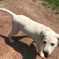 AKC Lab Puppy For Sale - 5 Month Old Yellow Lab Female Started