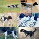 Large Munsterlander Puppies Arriving Soon