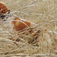 English Setters - European Hunting Companions