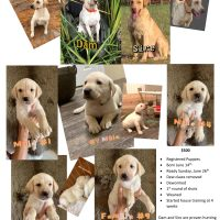 Registered Yellow Labrador Puppies from Professional Hunting Dogs