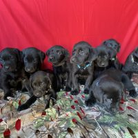 Hunting Labrador Retriever Puppies