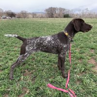 Awesome 7 month old male GSP for sale!
