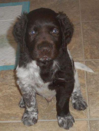 Small Munsterlander Pointer Puppy Female - Maquoketa - Iowa