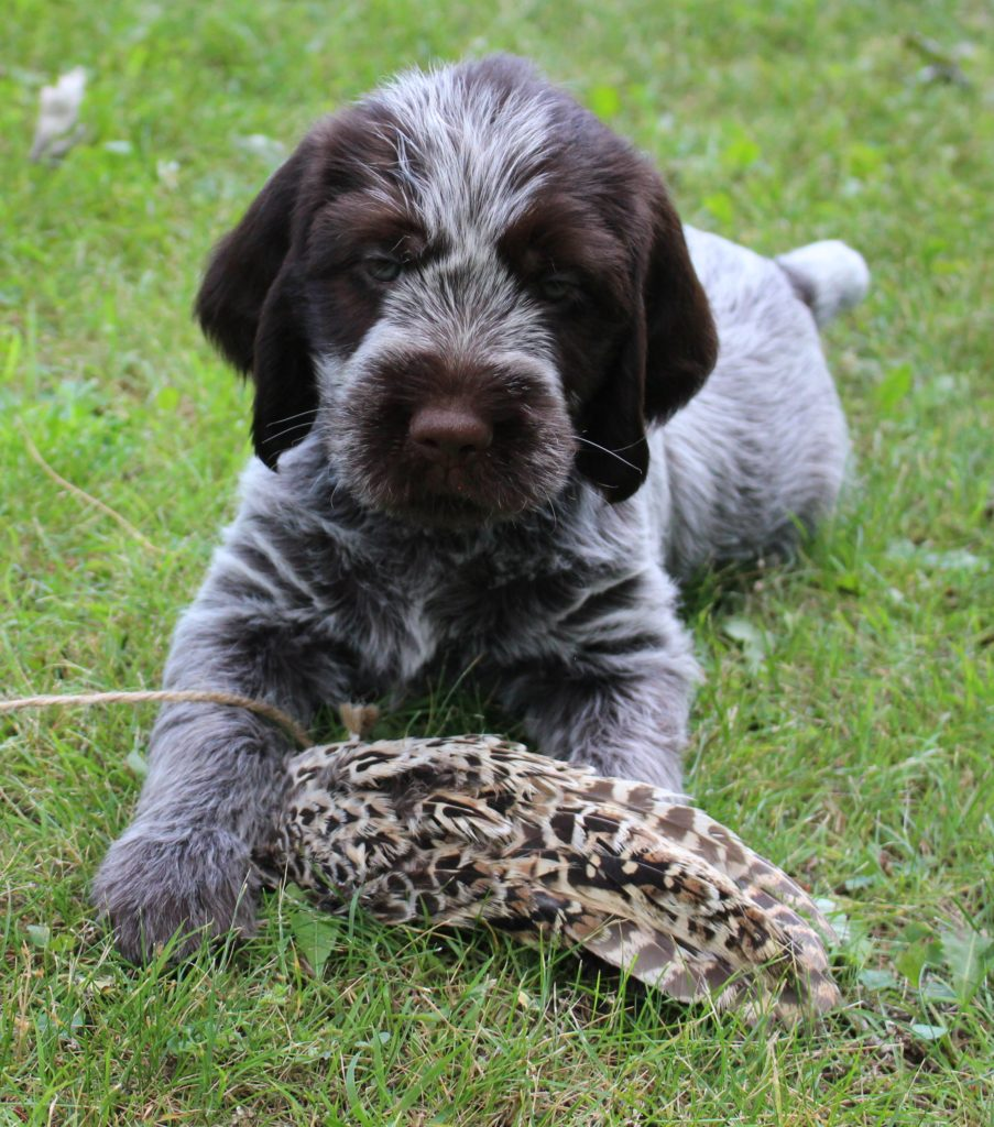 Wirehaired Pointer Griffon Puppies For Sale Wire Center Adjustabledutycycle Mono Circuit Diagram Tradeoficcom Pointing Wi Rh Buyandsellhuntingdogs Com