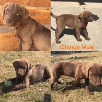 Chesapeake Bay Retreiver puppy's for sale
