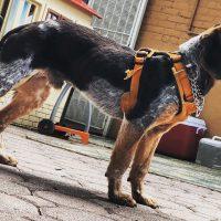 1.5 yr old MALE AKC registered Blue Tick Beagle