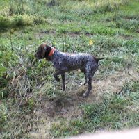 WANTING TO BREED MY MALE GSP AKC MASTER HUNTER BLOOD LINES