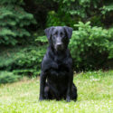 Competitive Labrador Breeding - FC AFC Hockley Creek Switch Hitter x Windy Acres Born Intuition, SH