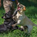 AKC English Labrador Puppies and Started Young Dogs