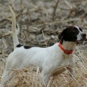 Fully trained hunting pointer