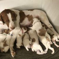 Champion bred brittany pups