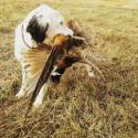 Bird Dog Training