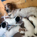 English Setter Puppies Champion Bloodlines