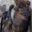 Plott Hound Pups for Sale