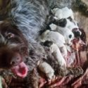 Manitou Wirehaired Pointing Griffons