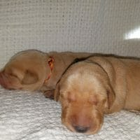 AKC Fox Red Lab Pups - MH x CGC Health Tested