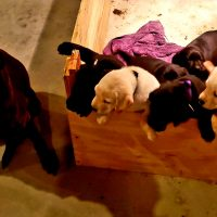 AKC REGISTERED POINTING LAB PUPPIES FOR SALE. 8 weeks old December 18th. Great hunting pedigree!