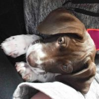 AKC German Shorthair Pointers ready for homes