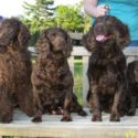 American Water Spaniel breeders for 32 years and counting!