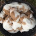 AKC Brittany pups