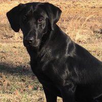 Percy NDL QAA x Bristol MH Labrador Retriever Litter