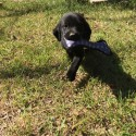 Championship Bloodline AKC registered British lab puppies for sale