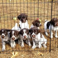 German Wirehair Pointers For Sale