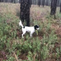 Nice lightly started English Setter male