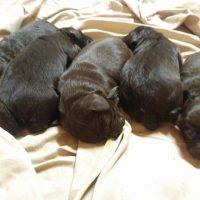 Boykin Spaniel puppies