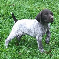 AKC German short haired pointer puppies ready to go home now!