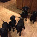 NOW $500 AKC British Lab Puppies